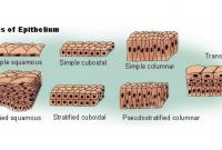 Pengertian Jaringan Epitel - Ciri Jenis dan Fungsinya