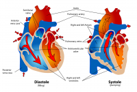 Fungsi Serambi Kanan Pada Organ Jantung Manusia
